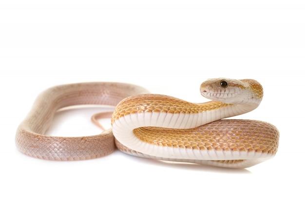 Serpiente de maíz en estudio