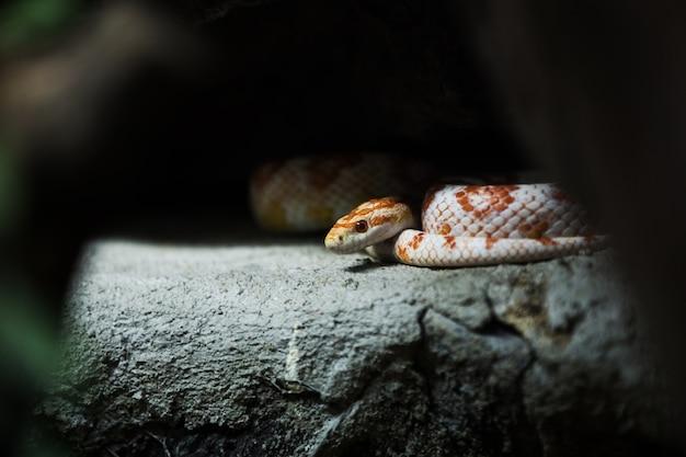 Serpiente de maíz en una roca.