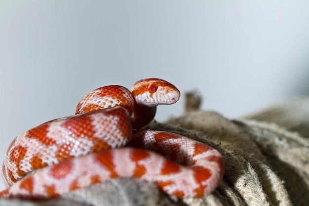 Serpiente de maiz roja