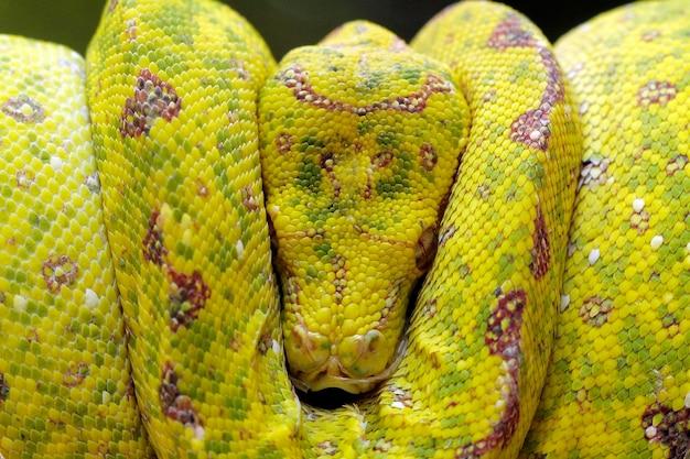 Serpiente pitón de árbol amarillo en la rama