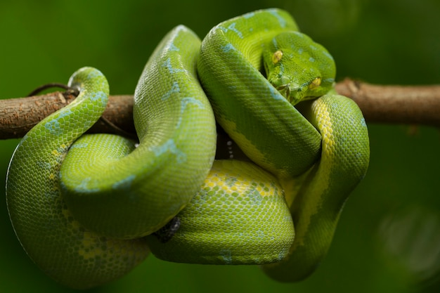Serpiente pitón de árbol verde en la rama de un árbol