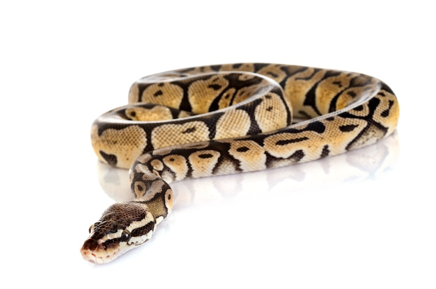 Serpiente pitón bola