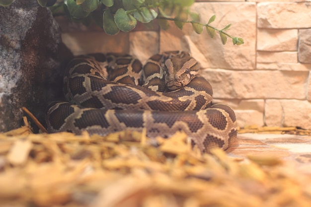 Una serpiente pitón gigante descansando en el terario. hermosa piel de serpiente