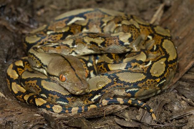 Serpiente pitón reticulada (python reticulatus)