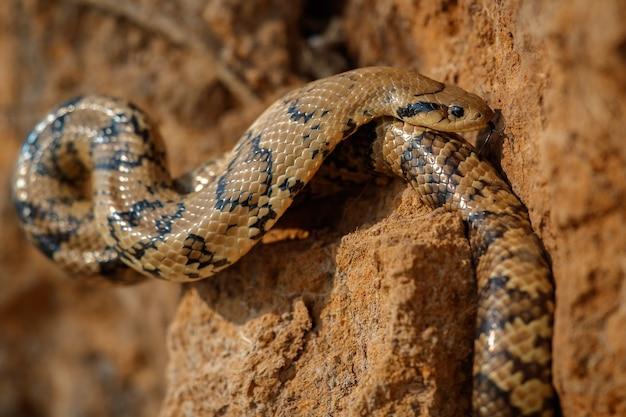 Serpiente salvaje de cerca en el hábitat natural.