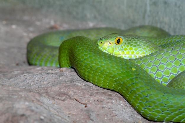 Serpiente (víbora de foso verde) duerme sobre la roca en tailandia