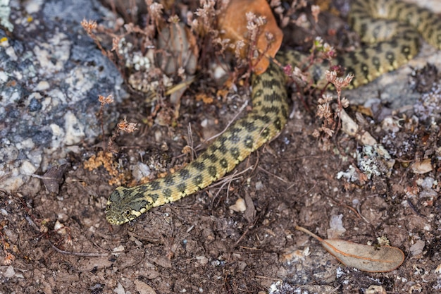 Serpiente viperina, natrix maura.