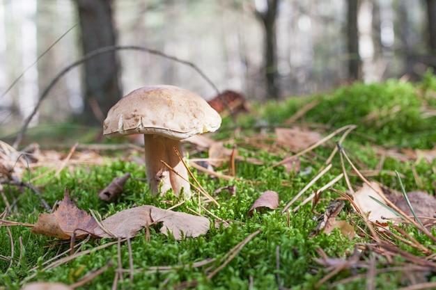 Seta linda crece en la hierba en el bosque. el hermoso casquillo marrón pequeño de un cep está en el foco. es comida de dieta vegetariana.