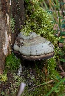 Seta polyporus squamosus, creciendo en un árbol. hongo parásito en madera muerta.