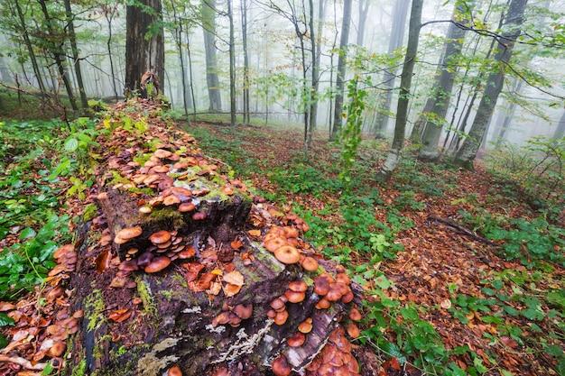 Setas comestibles en un bosque de otoño