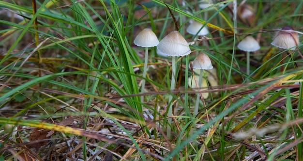 Setas pequeñas en el bosque. seta mycena filopes. hongos toadstools