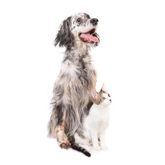 Setter inglés perro y gato doméstico juntos aislado sobre fondo blanco.