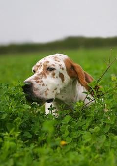 Setter inglés típico en un césped de hierba verde