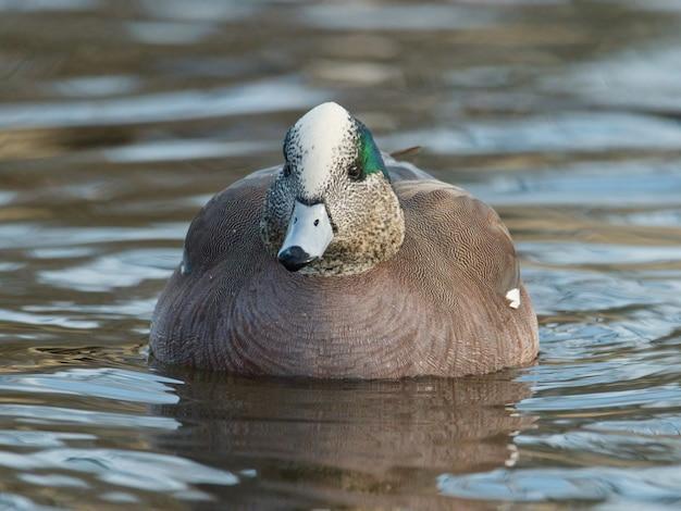 Shal focus de pato wigeon americano (mareca americana) flotando en el agua