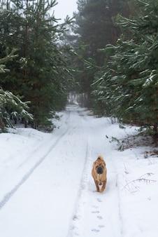Shar pei invierno en el bosque de coníferas.