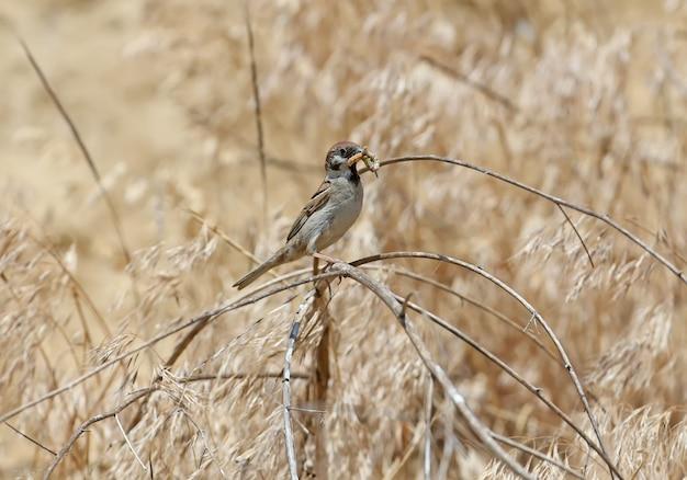 Sharrow árbol con una oruga en su pico se sienta en una rama cerca de su nido