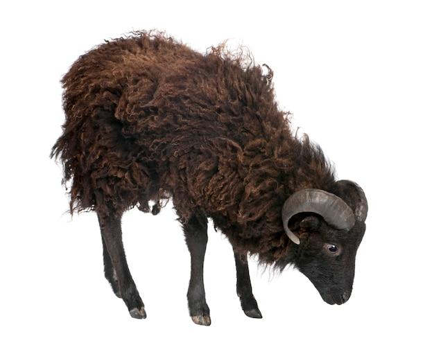 Shhep negro - carnero ouessant en un blanco aislado