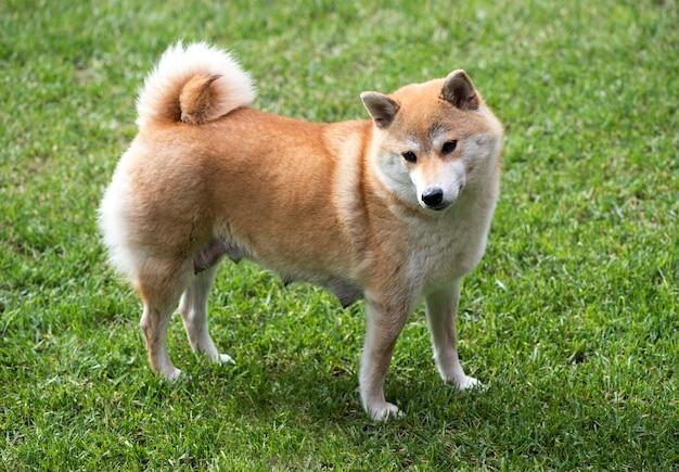 Shiba inu hembra perro parado sobre la hierba