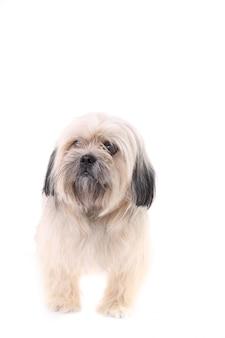 Shih tzu perro aislado sobre un fondo blanco.