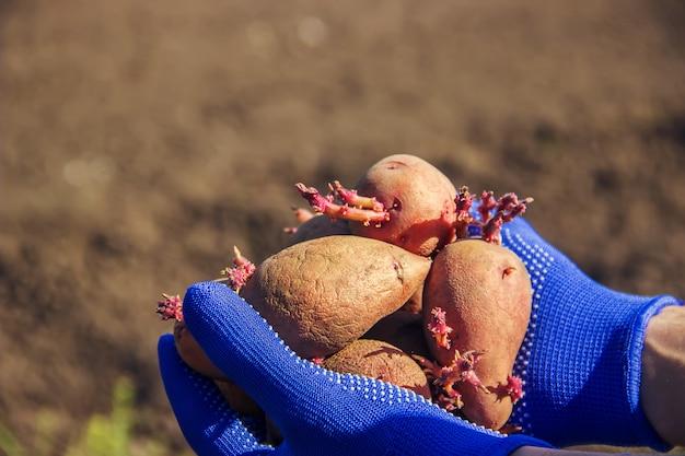 Siembra de patatas. jardín. enfoque selectivo alimentos orgánicos.
