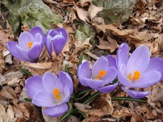 Signos de la primavera del azafrán