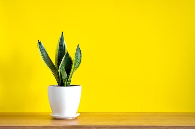 Simulacros de pancarta con espacio de copia de tendencia flor planta serpiente sansevieria trifasciata sobre fondo amarillo brillante