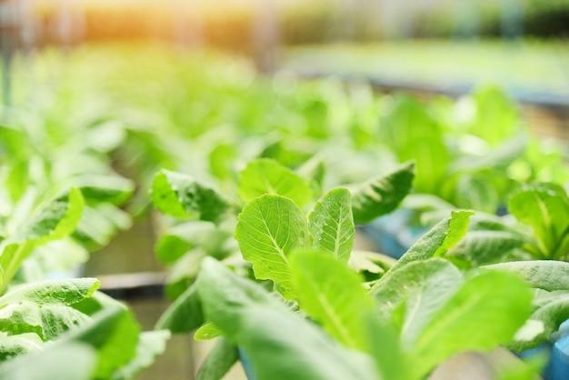 Sistema hidropónico vegetales jóvenes y lechuga verde fresca