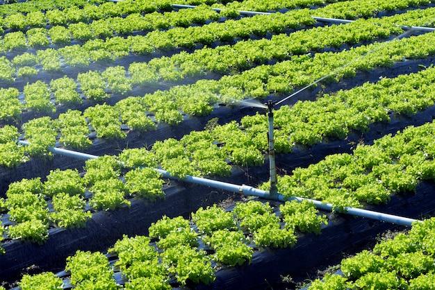 Sistema de riego en acción en la plantación de hortalizas.