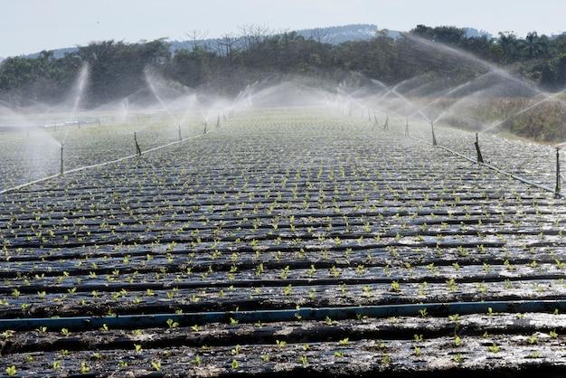 Sistema de riego, a contraluz, en plantación de hortalizas.