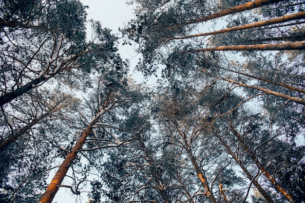 Sky veiw a través de ramas de pino cubiertas de nieve