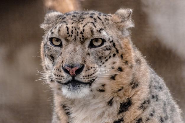 Snow leopard, (panthera uncia)