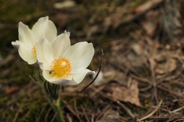 Snowdrops blancos en el espacio de copia de bosque de coníferas.