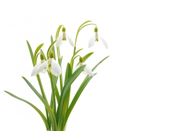Snowdrops (galanthus nivalis) aislado