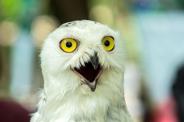 Snowy owl (bubo scandiaca) una mirada linda