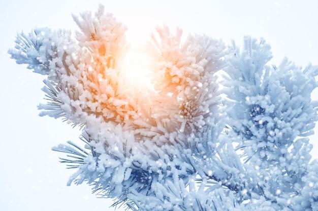 Sobre frágiles ramas de pino hay nieve esponjosa. los snowflack brillan bajo el sol.