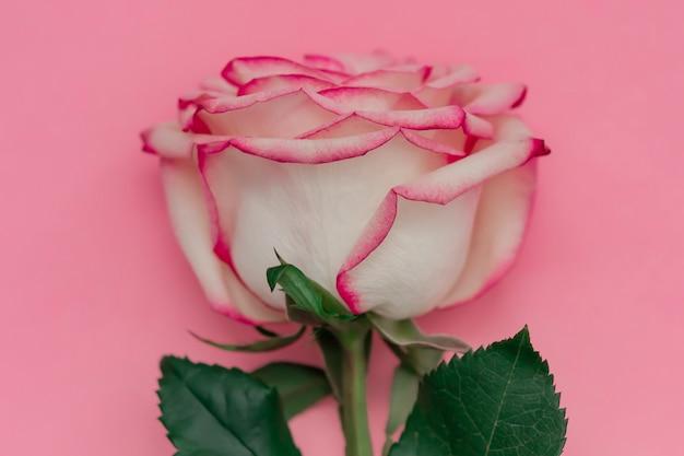 Sola flor color de rosa en fondo rosado con el lugar para el texto