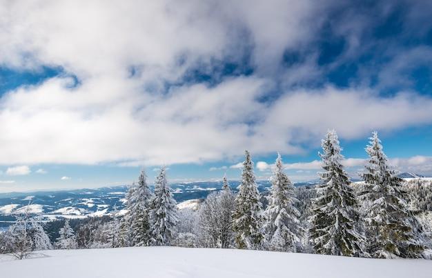 Soleado paisaje invernal de ventisqueros en el fondo de un esbelto bosque de coníferas en un helado día de invierno