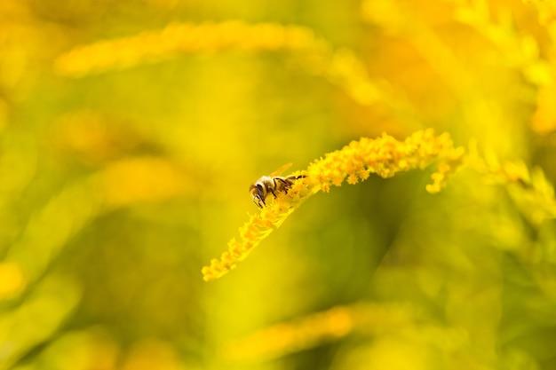 Solidago, flores amarillas de vara de oro en verano