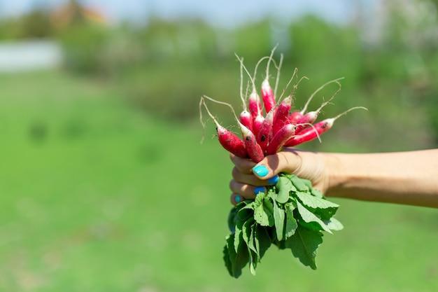 Solo desenterró rábano fresco con colas verdes en la mano. ingredientes para deliciosas ensaladas de verano. concepto de agricultura