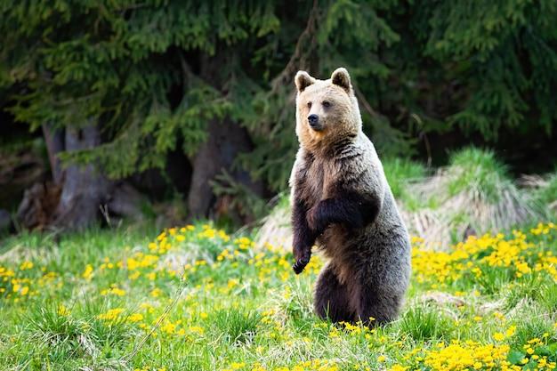 Sorprendido oso pardo parado sobre la pata trasera en posición vertical en primavera