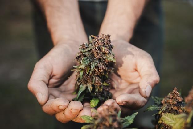 Sosteniendo un agricultor sosteniendo una hoja de cannabis.