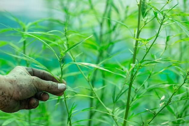 Sosteniendo a un granjero sosteniendo una hoja de cannabis.