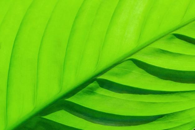 Spathiphyllum, hoja verde. una estructura con un color jugoso, la hoja se resalta desde abajo.