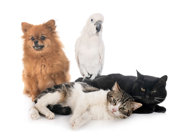 Spitz y cacatúa de gatos callejeros