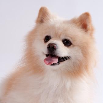 Spitz cachorro acostado en el frente. aislado en blanco