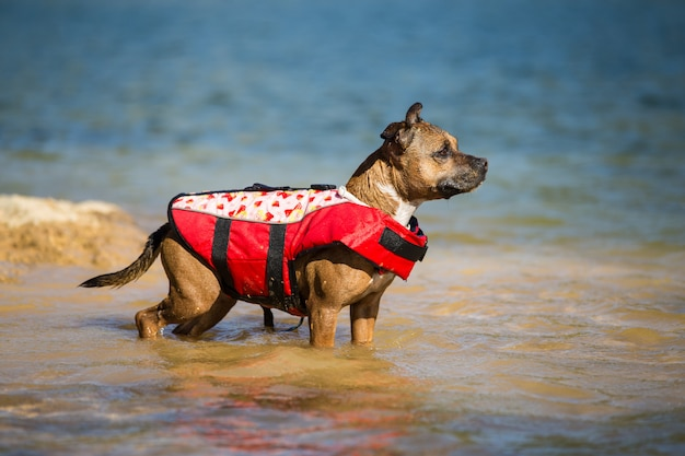 Staffordshire bull terrier buceo