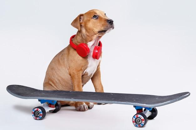 Staffordshire terrier cachorro y patineta