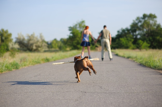 Staffordshire terrier corriendo con big stick