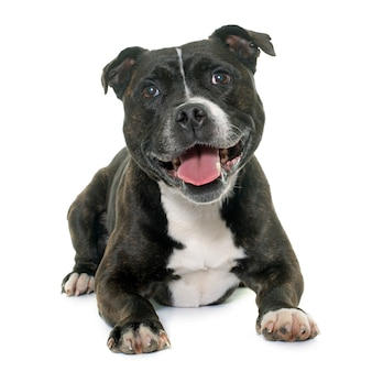 Stafforshire bull terrier