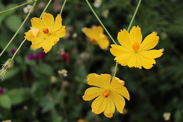 Starburst flores amarillas en la pradera